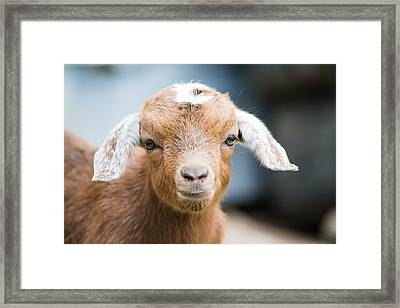 Baby Goat Horizontal Framed Print by Shelby Young