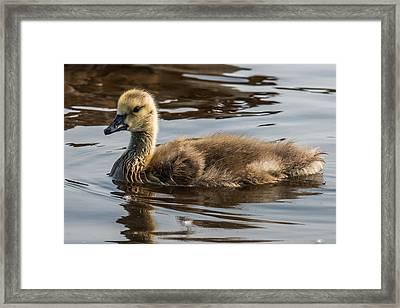 Baby Goose Framed Print by Paul Freidlund