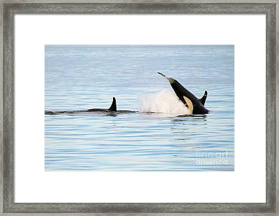 Baby Orca Tag Framed Print by Mike Dawson