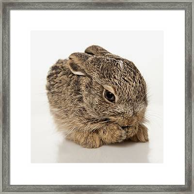 Baby Rabbit Cleaning Himself Framed Print by Leah Hammond