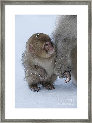 Baby Snow Monkey Framed Print by Jean-Louis Klein & Marie-Luce Hubert