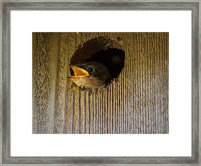 Baby Swallows First Impression Framed Print by Jean Noren