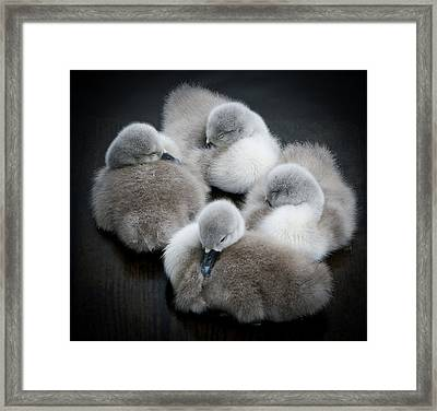 Baby Swans Framed Print by Roverguybm