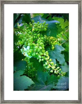 Backyard Garden Series - Young Grapes Framed Print by Carol Groenen