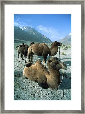 Bactrian Camel Camelus Bactrianus Group Framed Print by Colin Monteath