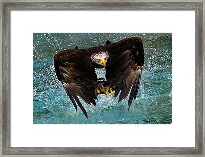 Bald Eagle In Flight Framed Print by Dean Bertoncelj
