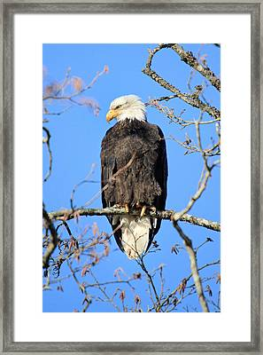 Bald Eagle In Squamish British Columbia Framed Print by Pierre Leclerc Photography
