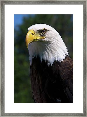 Bald Eagle Framed Print by JT Lewis