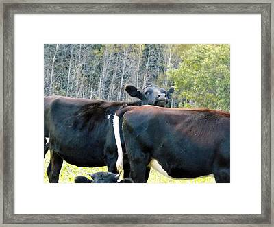 Baleful Bovine Framed Print by William Tasker