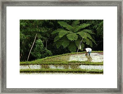 Bali Indonesia Rice Field Framed Print by Bob Christopher