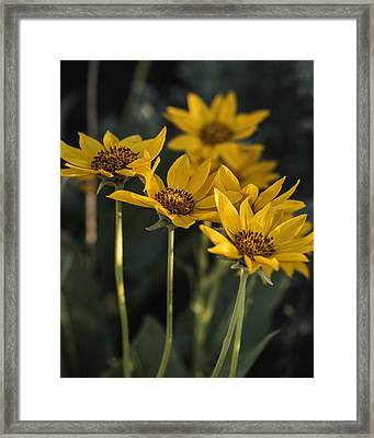 Balsamroot Bloom On A Spring Evening Framed Print by Vishwanath Bhat