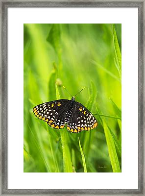 Baltimore Checkerspot Butterfly Framed Print by Christina Rollo