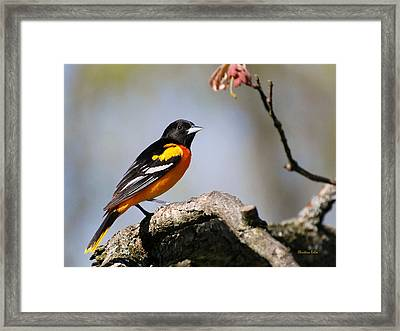 Baltimore Oriole Framed Print by Christina Rollo