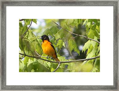 Baltimore Orioles  Framed Print by Nancy TeWinkel Lauren
