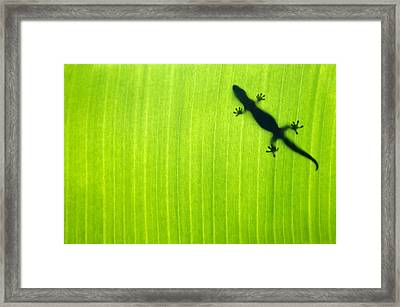 Banana Leaf Gecko Framed Print by Sean Davey