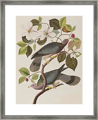 Band-tailed Pigeon  Framed Print by John James Audubon
