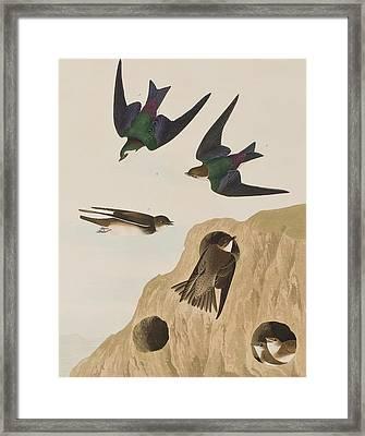 Bank Swallows Framed Print by John James Audubon