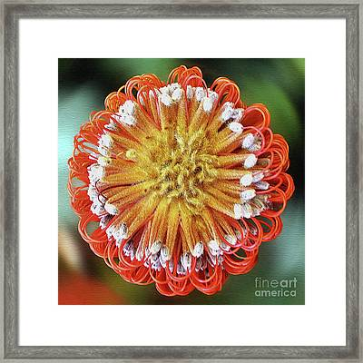 Banksia Art By Kaye Menner Framed Print by Kaye Menner
