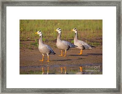 Bar-headed Geese, India Framed Print by B. G. Thomson
