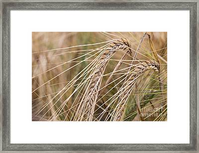 Barley Framed Print by Michal Boubin