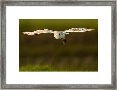 Barn Owl Framed Print by Paul Neville
