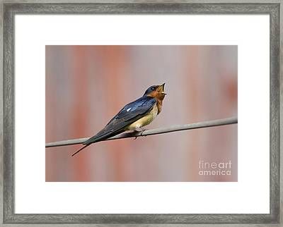Barn Swallow Calling Framed Print by Marie Read
