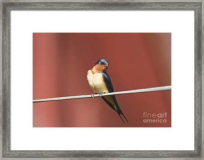 Barn Swallow Framed Print by Marie Read
