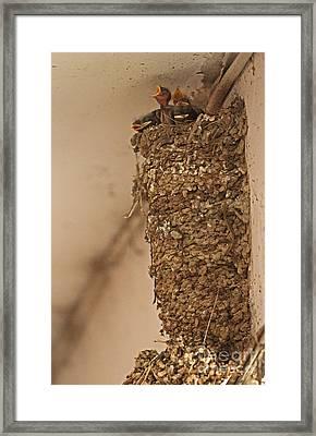 Barn Swallow Nest Framed Print by Neil Bowman/FLPA