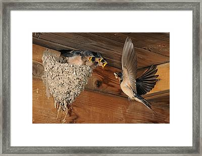 Barn Swallows At Nest Framed Print by Scott  Linstead