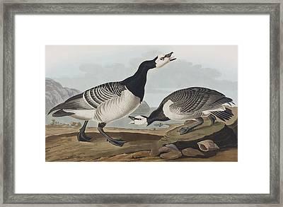Barnacle Goose Framed Print by John James Audubon