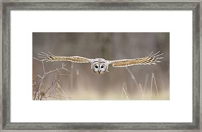Barred Owl In Flight Framed Print by Scott  Linstead