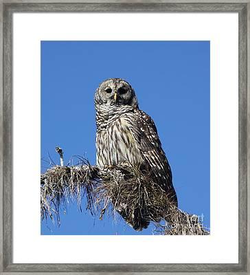 Barred Owl Portrait Framed Print by Barbara Bowen