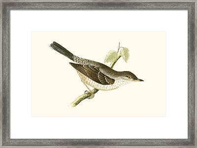 Barred Warbler Framed Print by English School