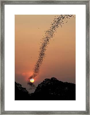Bat Swarm At Sunset Framed Print by Jean De Spiegeleer