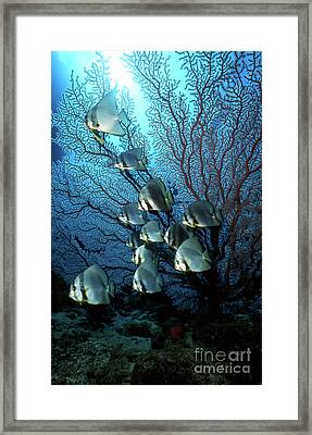 Batfish And Sea Fan, Papua New Guinea Framed Print by Beverly Factor