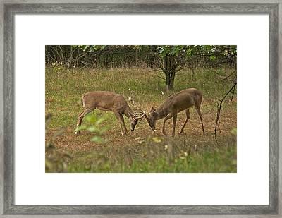 Battling Whitetails 0102 Framed Print by Michael Peychich