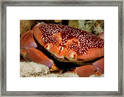 Batwing Coral Crab Closeup Framed Print by Jean Noren