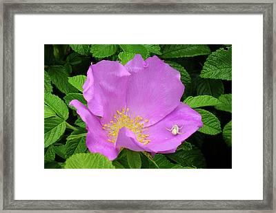 Beach Rose Framed Print by Bill Morgenstern