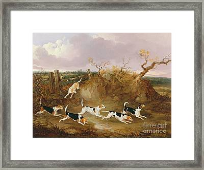 Beagles In Full Cry Framed Print by John Dalby