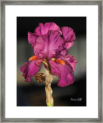Bearded Iris Beauty Framed Print by Suzanne Gaff