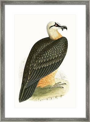 Bearded Vulture Framed Print by English School