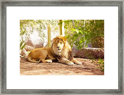 Beautiful African Lion Laying In Jungle Framed Print by Susan Schmitz