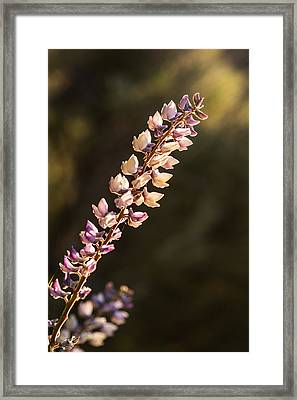 Beautiful Backlit Lupine On A Spring Evening Framed Print by Vishwanath Bhat