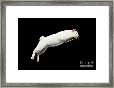 Beautiful Breed Without Tail Mekong Bobtail Cat Isolated Black Background Framed Print by Sergey Taran