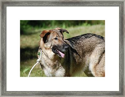 Beautiful Face Of A German Shepherd Framed Print by DejaVu Designs