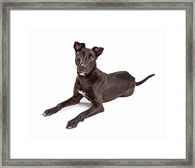 Beautiful Large Labrador Retriever Crossbreed Dog Framed Print by Susan  Schmitz