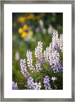 Beautiful Lupines Blooming In Boise Hills Boise Idaho Usa Framed Print by Vishwanath Bhat