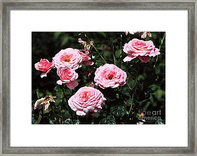 Beautiful Pink Rose L'aimant Framed Print by Louise Heusinkveld