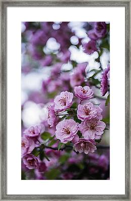 Beautiful Pink Spring Flowers With Natural Bokeh Framed Print by Vishwanath Bhat