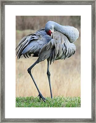 Beautiful Preening Sandhill Crane Framed Print by Carol Groenen